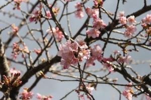20210217河津桜 (4)⑥