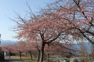 20210227河津桜 (6)