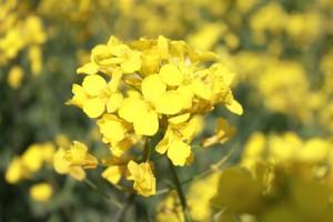 IMG_0668菜の花祭り (20)