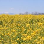 IMG_0668菜の花祭り (5)