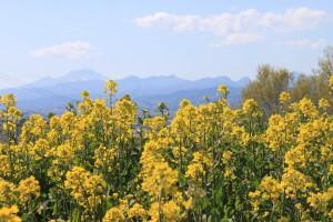 IMG_0668菜の花祭り (22)