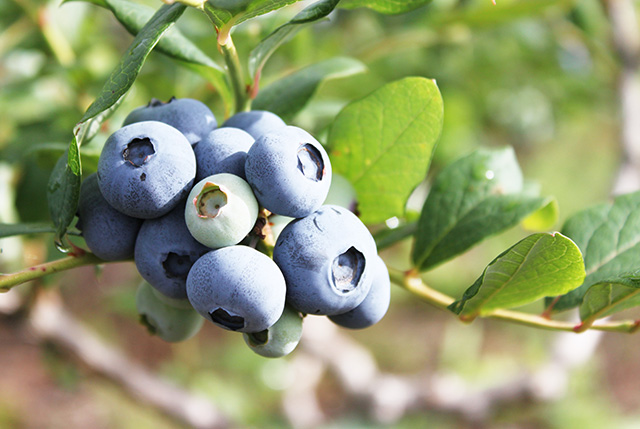 blueberry_berry