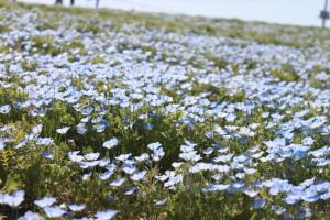 IMG_0668菜の花祭り (21)