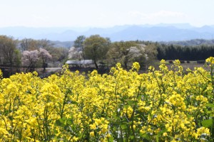 IMG_0668菜の花祭り (24)