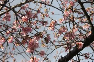 20210217河津桜 (3)④
