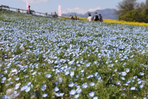 IMG_0668菜の花祭り (8)
